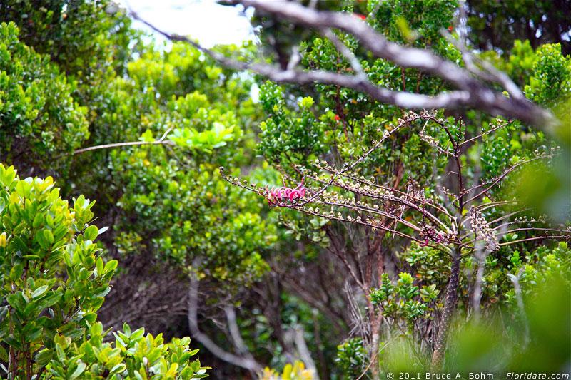 Trematolobelia kauaiensis