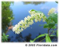virginia willow