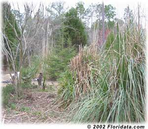 pampas grass clump