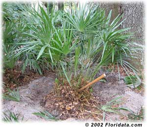 dividing a clump of needle palm