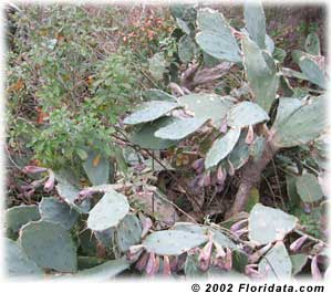 blackberry brambles in the cactus patch
