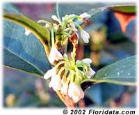 tea olive flowers