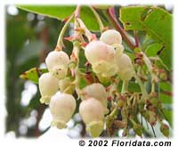 strawberry tree flowers
