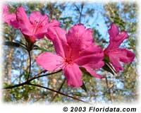 Formosa azalea