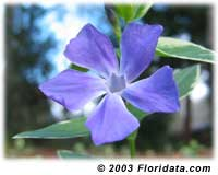 Big Periwinkle