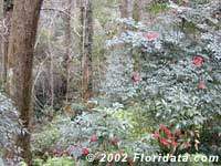 nandina and coral ardisia invading a North Florida habitat